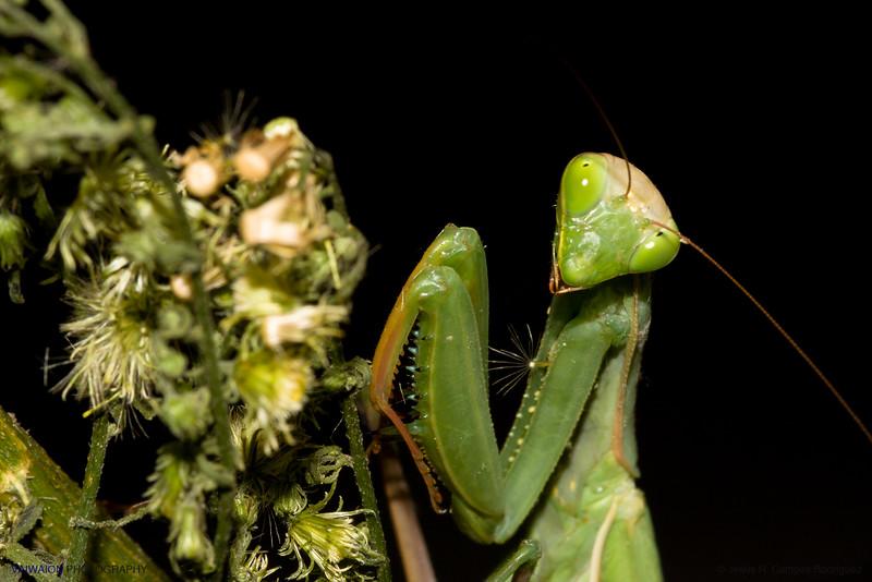 Coquette Mantis