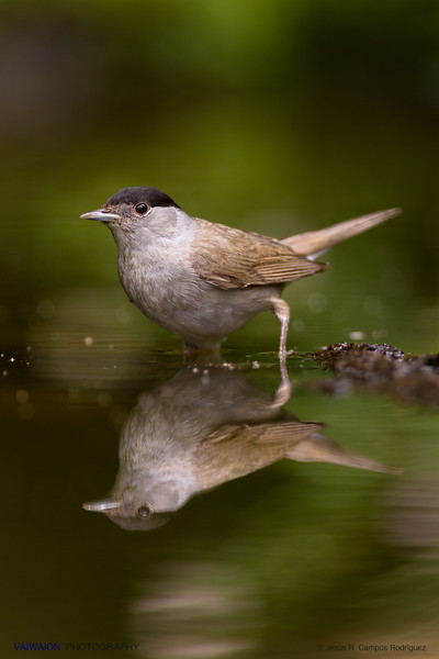 Blackcap. Male.