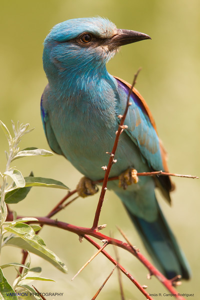 "European roller.<br /> This handsome blue bird, in Spanish is called ""carraca"", due to its characteristic call, ""rack-ack … !""."