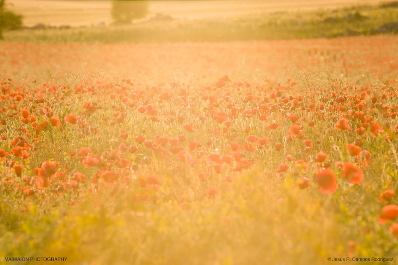 Field of poppies and light.<br /> I took this photo just before sunset, with the lens directed toward the sun but just below it. The aim was to capture the sunset light itself as the protagonist of the scene, along with red poppies.