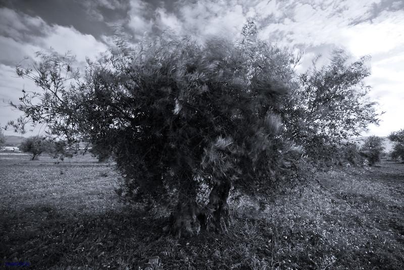 The breeze and the olive tree (Olea Europaea)