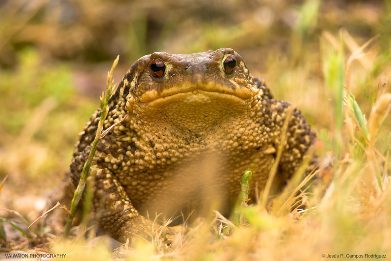 Portrait of an European common toad.<br /> Probably a female, because of its size.