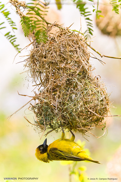 At lake Baringo you can see lots of Speke's weavers, building their nests during their breeding seasons. During one season, a male weaver can build up to 4-5 nests until a female  accepts one as suitable.