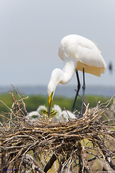 Great egret chicks at nest (2). Lake Baringo