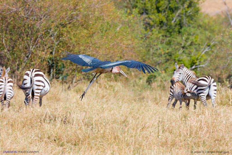 A curious scene that seems a coming clash between a marabou and a zebra