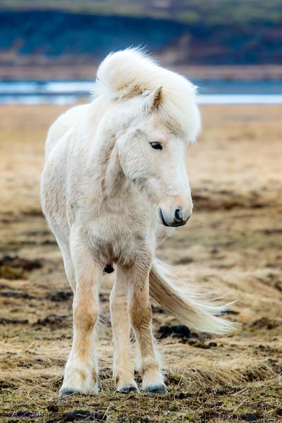 The Icelandic Horses (VI)
