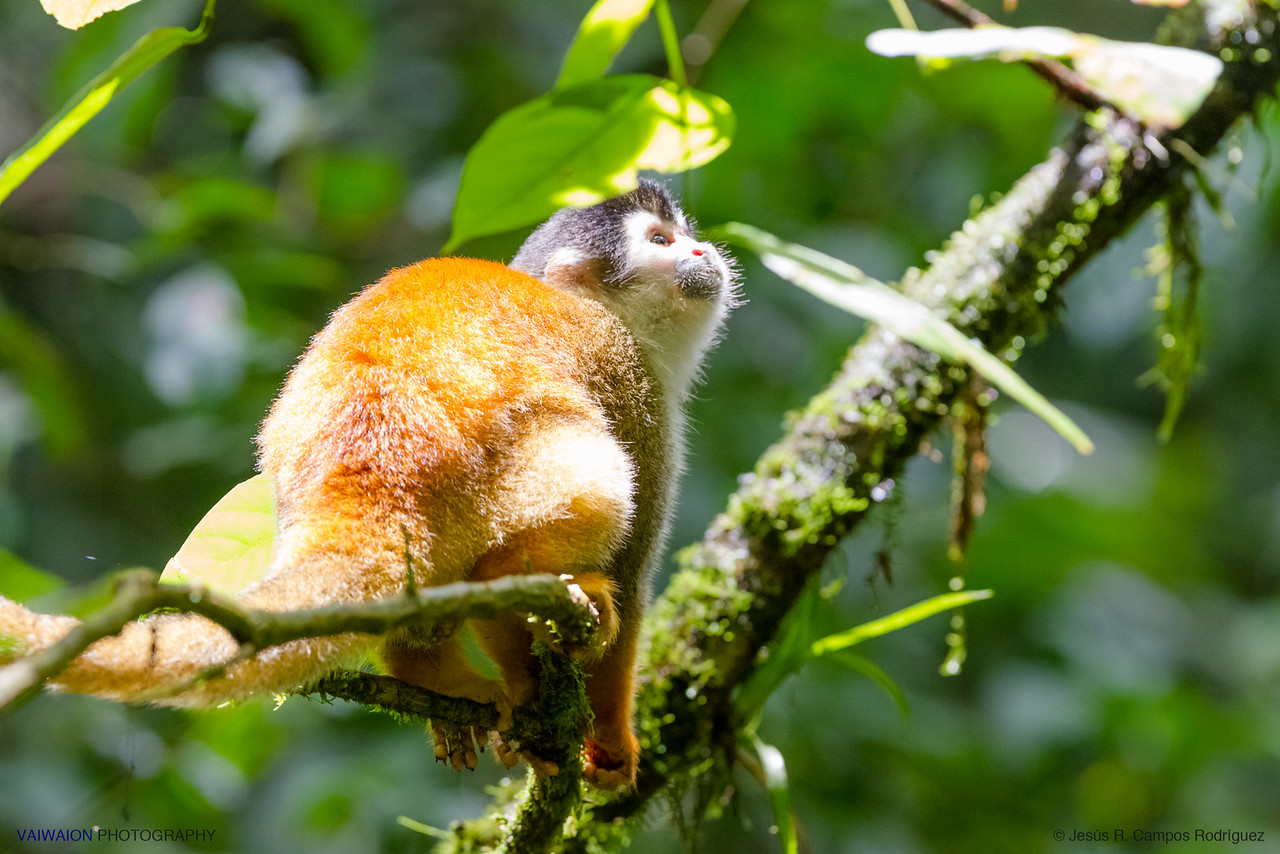 Grey-crowned Central American squirrel monkey