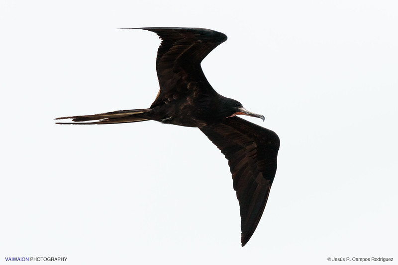 Flying frigatebird