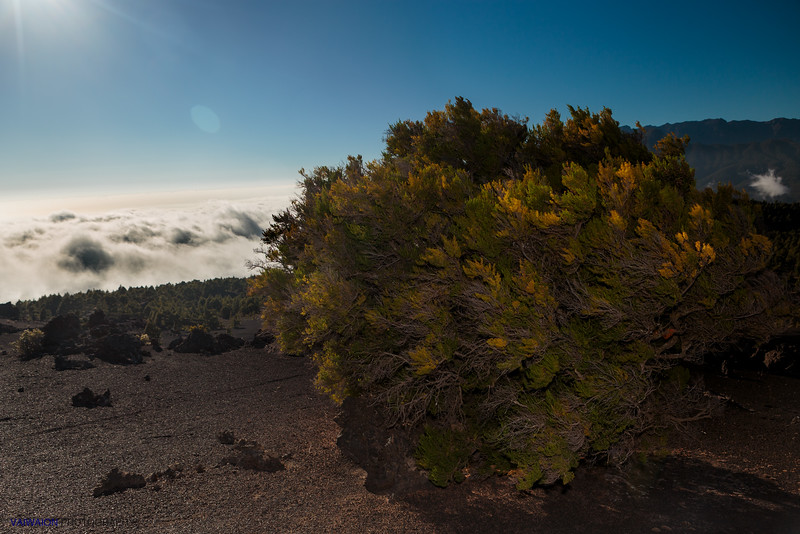 Sea of Clouds and Canary Pine