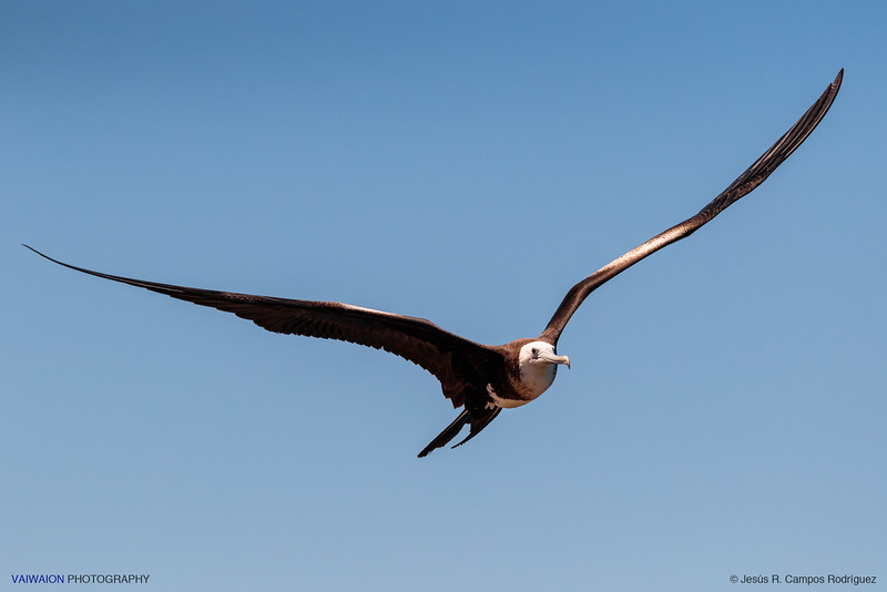 Young frigatebird in flight