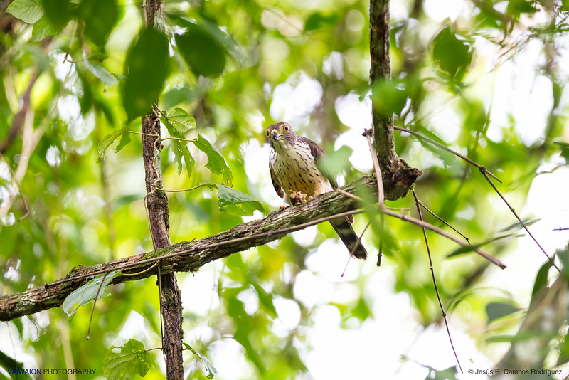 Double-toothed kite & prey