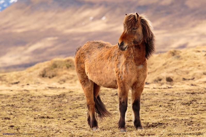 The Icelandic Horses (IV)