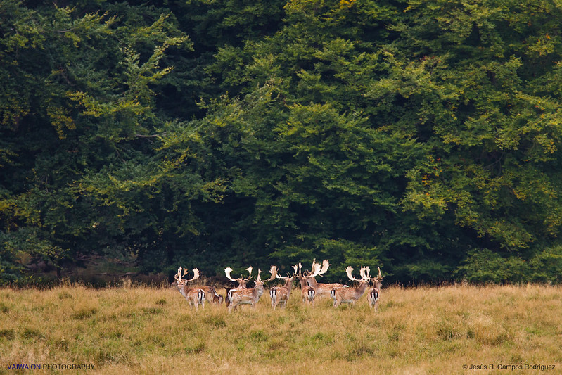 Fallow Deer & the Forest