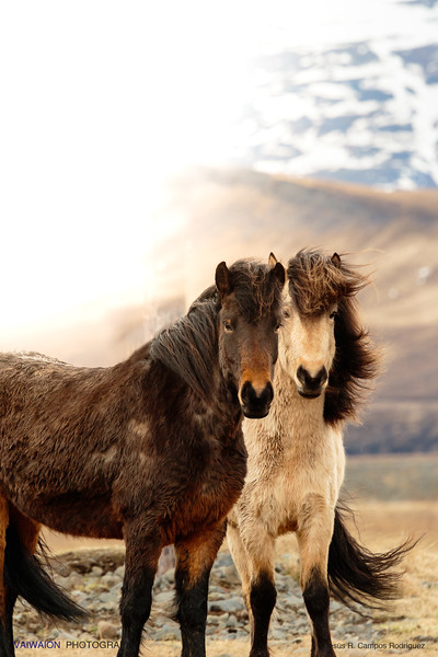 The Icelandic Horses (II)