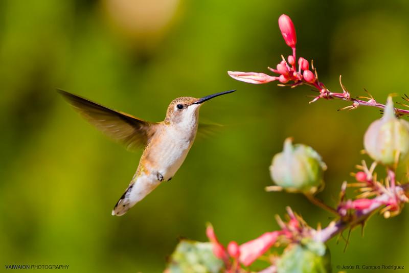 Black-chinned hummingbird. Female