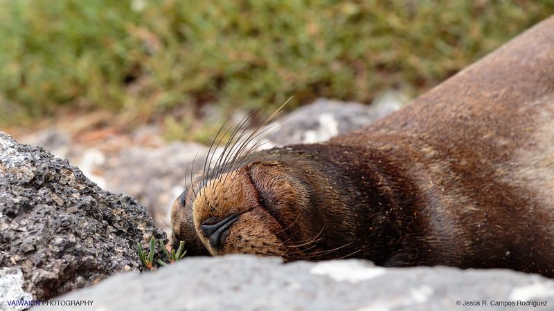 Galápagos sea lion (Zalophus wollebaeki)