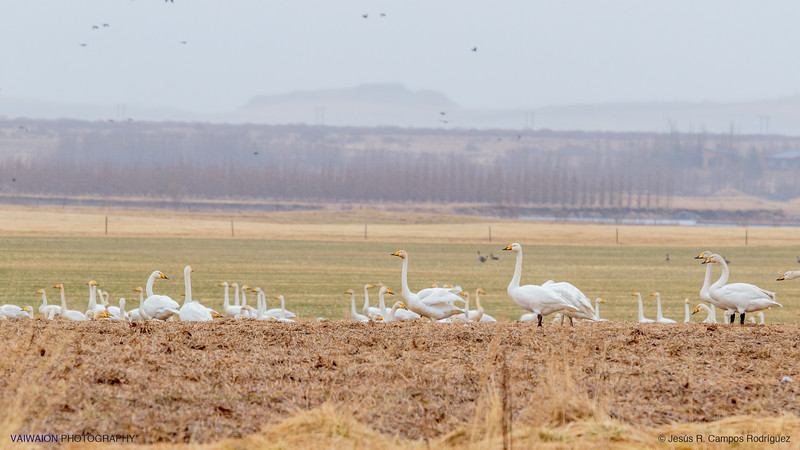 Whooper Swans in the Plains