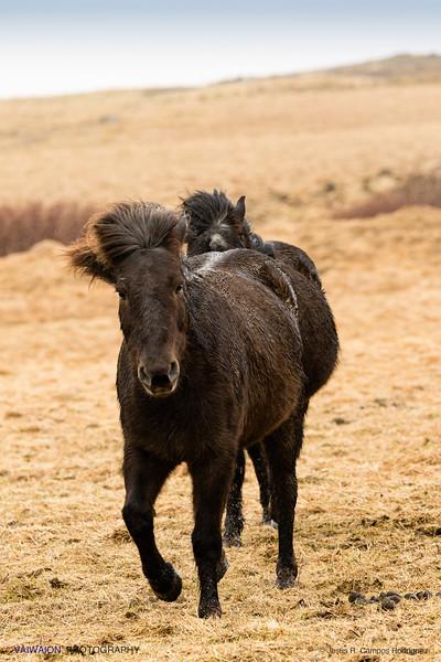 The Icelandic Horses (V)