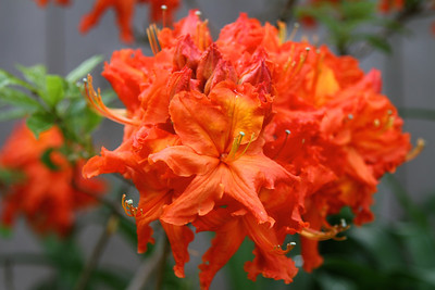 The star of the garden right now..my orange azalea