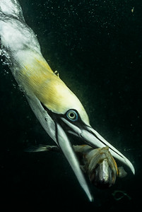 Gannet Catching Mackerel #2