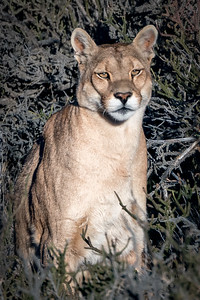 Puma Female on Watch
