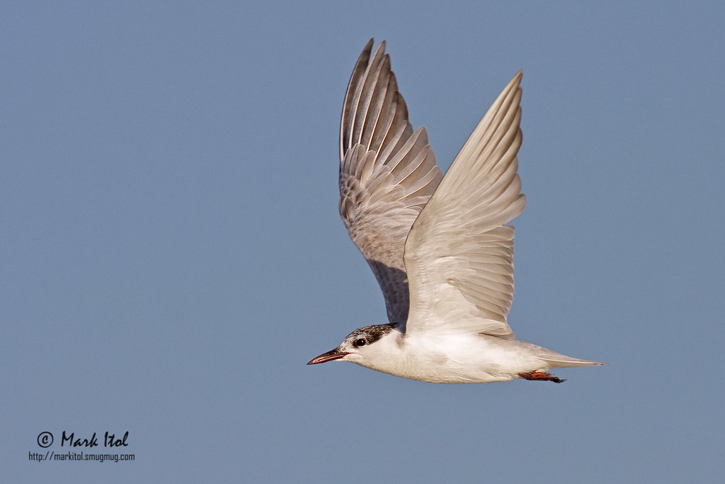 A <b>Whiskered Tern</b> (<i>Chlidonias hybridus</i>) flies in full speed in the golden Olango sunset.  40D, 400 f/5.6 L, ISO 400, f/7.1, 1/2000 sec, manual exposure, handheld