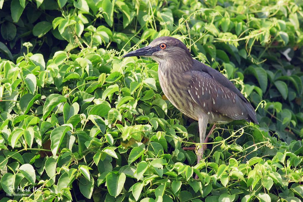<b>Black-crowned Night Heron</b> (<i>Nycticorax nycticorax</i>, juvenile), common, resident Valenzuela City, Metro Manila