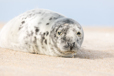 This weaned Gray seal pup was seen on the OSV zone in Maryland this morning which was rare upon itself and a first for me. I've only seen a few seal heads now and again in the inlet and when I observed her/him, I wasn't sure if the sand around its eyes and drool was normal.  Now that I'm home, I'm certain s/he isn't well and contacted the National Aquarium in OC to notify them of the sighting. They are aware of this pup and s/he is under current observation. Evidently weaned seal pups have a weakened immune system. Luckily this one is eating on its own and should have a promising future.