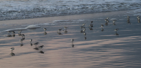 Sea Birds, Pescadero Beach, California