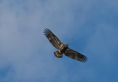 Juvenile Eagle, Almond, NC