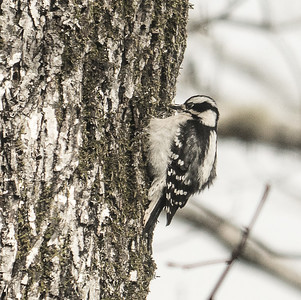 Downey Woodpecker, Almond, NC