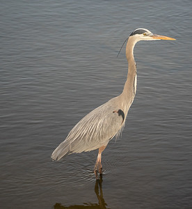 Great Blue Heron - Huntington  Beach State Park, SC