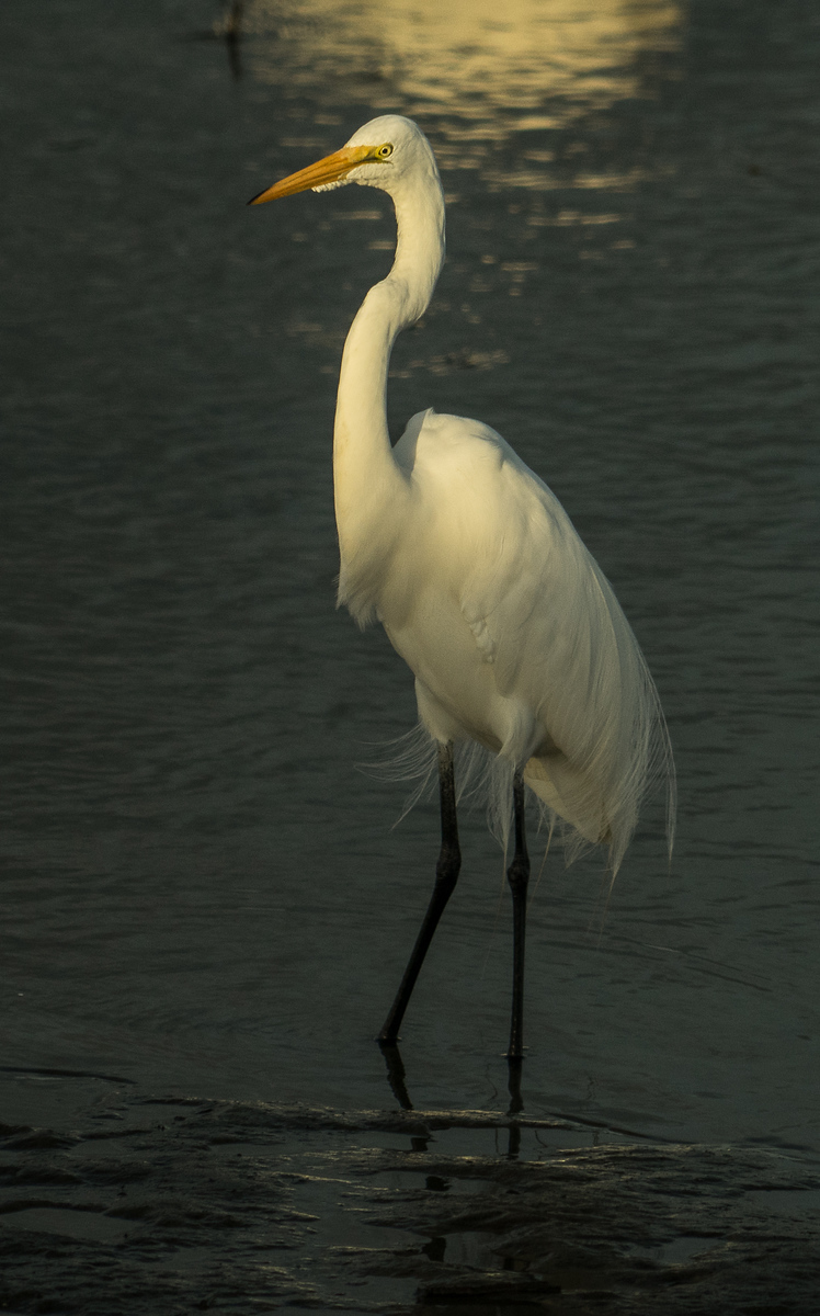 Great White Egret - Huntington Beach State Park, SC