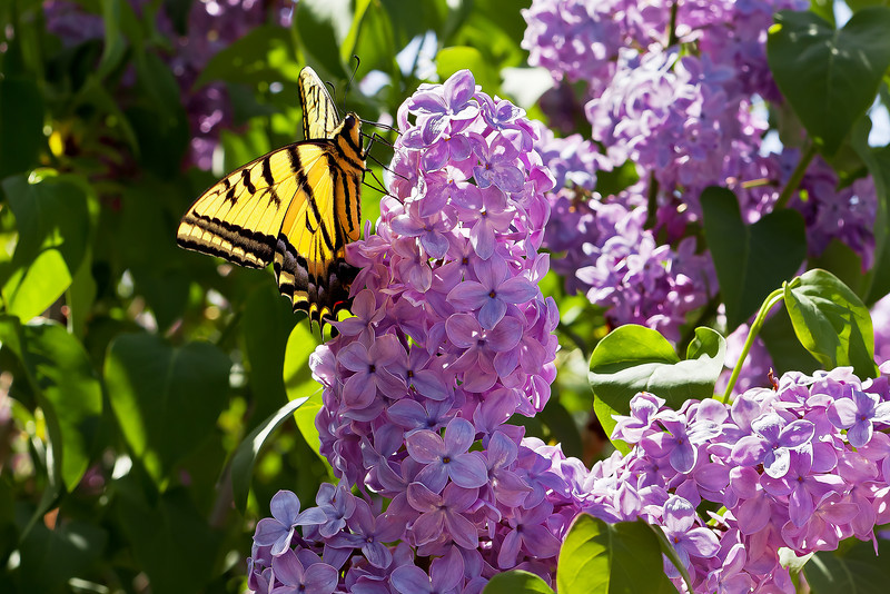 BUTTERFLY AND LILACS