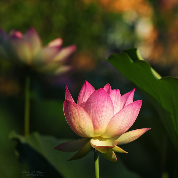 WATCHING THE LOTUS GROW