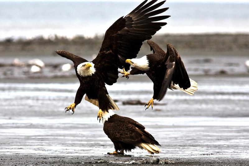 Bald Eagle disagreement