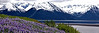 Lupines at Turnagain Arm