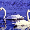 Trumpeter swans at Banner Marsh