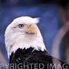 American bald eagle near Peoria, IL