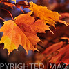 """Maple leaves in autumn at Parke County, Indiana"""