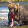 Coastal Brown Bear - Katmai National Park