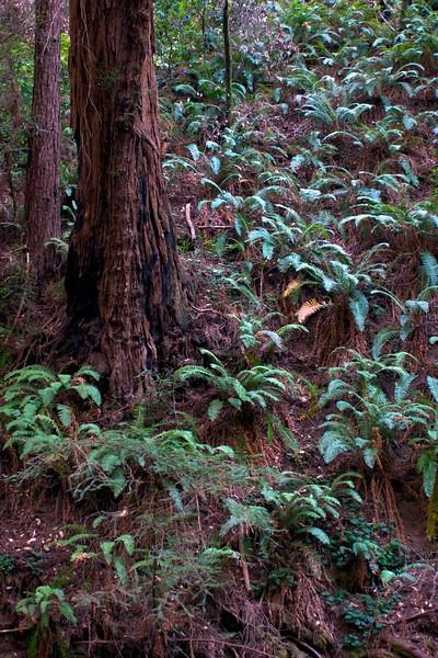 Muir Woods - August 2008