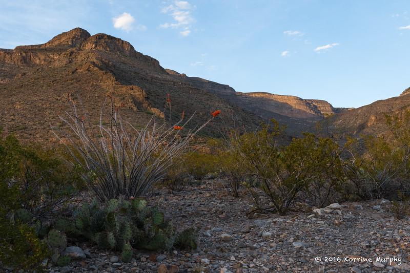 Ocotillo Cactus Oliver Lee State Park NM