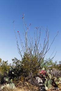 Ocotillo Cactus in bloom NM