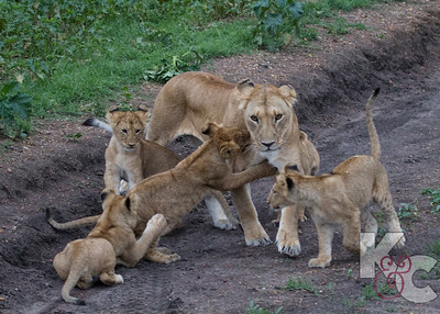 Lioness With Cubs