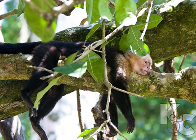 Tired Capuchin Monkey