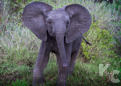 Startled Baby Elephant