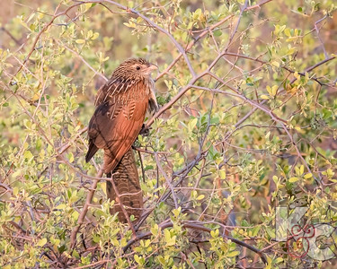 Juvenile White-browed Coucal