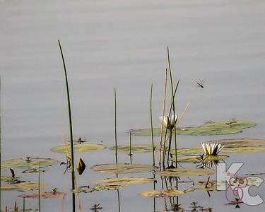 Water Lilies & Dragonfly