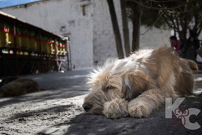 Dog Days at Sera Monastery
